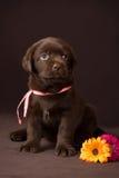 Cachorrinho de Labrador do chocolate que senta-se no marrom Imagens de Stock