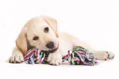 Cachorrinho de Labrador que morde em um brinquedo colorido foto de stock royalty free