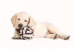 Cachorrinho de Labrador que morde em uma bola Imagens de Stock Royalty Free