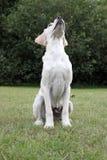 cachorrinho de Labrador que senta-se para baixo Imagens de Stock