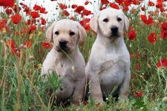 Cachorrinho de labrador retriever Imagem de Stock