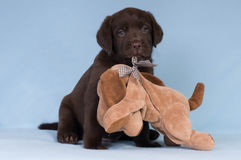 Cachorrinho de labrador retriever do chocolate com um brinquedo Fotografia de Stock Royalty Free