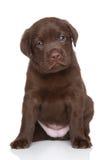 Cachorrinho de labrador retriever do chocolate, retrato Fotografia de Stock