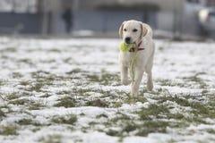 Cachorrinho de labrador retriever na jarda corrida com bola pequena Foto de Stock Royalty Free
