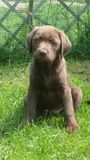 Cachorrinho de Labrador 12 semanas velho Imagens de Stock