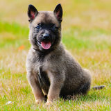 Cachorrinho de Malinois Fotografia de Stock Royalty Free