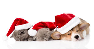 Cachorrinho de Pembroke Welsh Corgi com os chapéus vermelhos de Santa e os dois gatinhos Isolado Fotografia de Stock