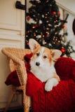 Cachorrinho de Pembroke Welsh Corgi em uma manta vermelha na cadeira foto de stock royalty free