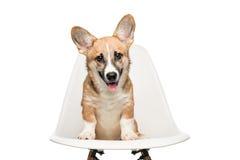 Cachorrinho de Pembroke Welsh Corgi que senta-se na cadeira olhando a câmera foto de stock royalty free