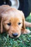 Cachorrinho de pensamento do golden retriever fotografia de stock