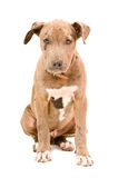Cachorrinho de Pitbull Fotografia de Stock Royalty Free