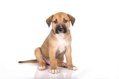 Cachorrinho de Pitbull Imagem de Stock Royalty Free