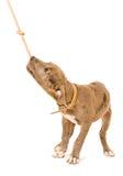 Cachorrinho de Pitbull que joga com uma corda Imagem de Stock