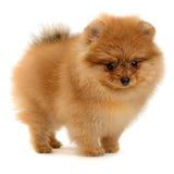 Cachorrinho de Pomeranian fotos de stock