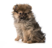 Cachorrinho de Pomeranian imagem de stock