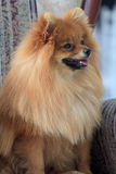 Cachorrinho de Pomeranian que senta-se no close up grande da cadeira Fotografia de Stock
