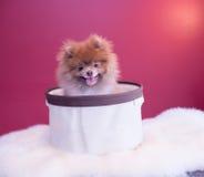 Cachorrinho de Pomeranina Foto de Stock Royalty Free