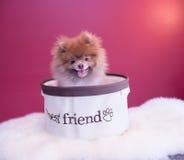 Cachorrinho de Pomeranina Fotos de Stock Royalty Free