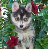 Cachorrinho de Pomsky Foto de Stock