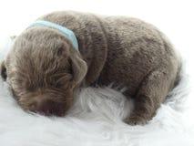 Cachorrinho de prata de labrador retriever fotografia de stock