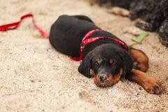 Cachorrinho de Rottweiller Foto de Stock Royalty Free