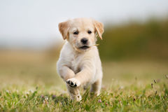 Cachorrinho de salto do golden retriever Foto de Stock Royalty Free
