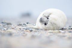 Cachorrinho de selo cinzento branco Foto de Stock