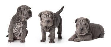 Cachorrinho de Sharpei isolado no branco Imagens de Stock