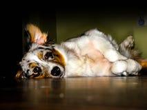Cachorrinho de Shepard do australiano Imagens de Stock