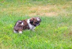 Cachorrinho de Shitzu Fotografia de Stock Royalty Free