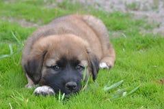 Cachorrinho de St Bernard Foto de Stock Royalty Free
