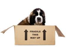 Cachorrinho de St Bernard em uma caixa de cartão Imagens de Stock Royalty Free