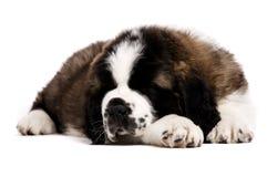 Cachorrinho de St Bernard isolado no branco Imagens de Stock