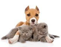 Cachorrinho de Stafford que abraça dois gatinhos Isolado no branco Fotografia de Stock Royalty Free