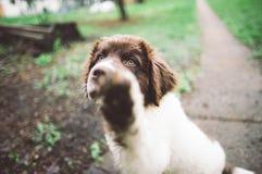 Cachorrinho de Terra Nova foto de stock royalty free