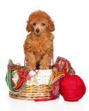 Cachorrinho de Toy Poodle em uma cesta de vime fotos de stock