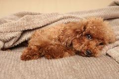 Cachorrinho de Toy Poodle sob a cobertura imagens de stock royalty free