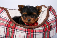 Cachorrinho de três yorkshires terrier que encontra-se no sofá na pilha vermelha imagem de stock