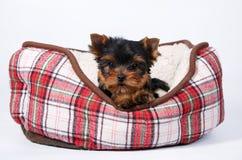 Cachorrinho de três yorkshires terrier que encontra-se no sofá na pilha vermelha fotos de stock