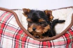 Cachorrinho de três yorkshires terrier que encontra-se no sofá na pilha vermelha imagem de stock royalty free