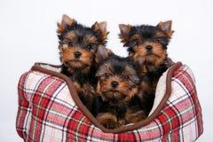 Cachorrinho de três yorkshires terrier que encontra-se no sofá na pilha vermelha fotografia de stock royalty free