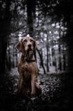 Cachorrinho de Vizsla no mais forrest foto de stock royalty free