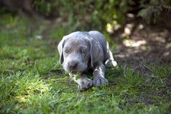 Cachorrinho de Weimaraner Fotos de Stock Royalty Free