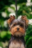 Cachorrinho de York em um fundo do jasmim de florescência Fotografia de Stock