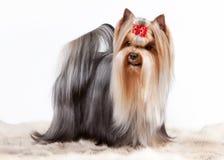 Cachorrinho de Yorkie no fundo branco do inclinação Fotos de Stock