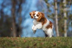 Cachorrinho descuidado do spaniel de rei Charles fora foto de stock royalty free