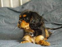 Cachorrinho descuidado do spaniel de rei Charles na cama fotos de stock