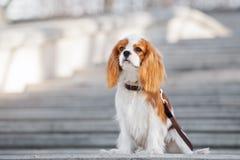 Cachorrinho descuidado do spaniel de rei Charles que senta-se fora Foto de Stock Royalty Free