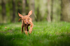 Cachorrinho dez semanas de idade do cão do vizsla que corre no mais forrest no sprin Fotografia de Stock Royalty Free