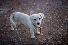 cachorrinho disperso Labrador imagens de stock